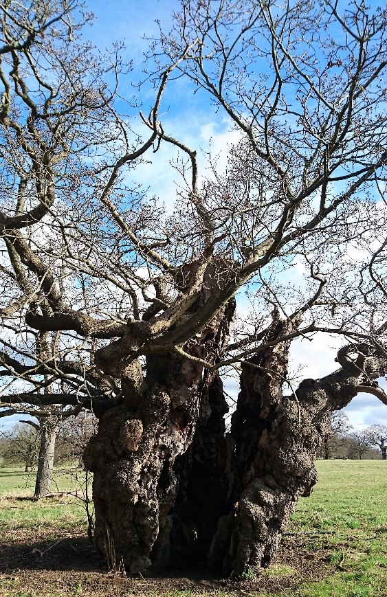 An ancient oak at Windsor Great Park