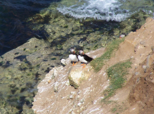 Puffins on South Landing