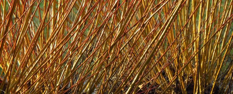 Willow SRC energy crop